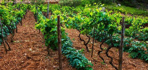 Korčula, vinice