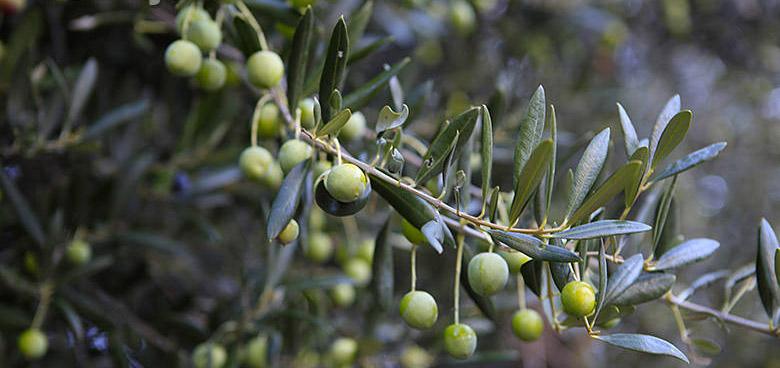 Pěstování olivovníků a zpracování oliv na Korčule